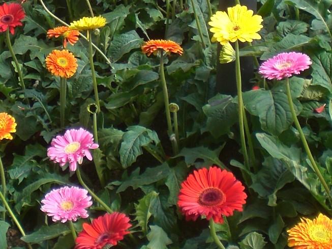 非洲菊 Gerbera