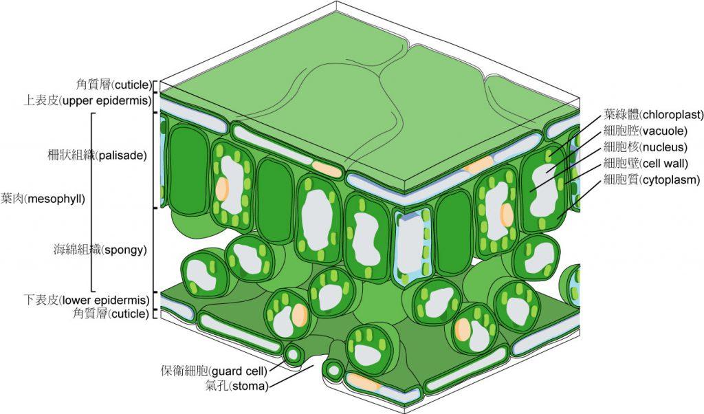 植物葉子的組織構造