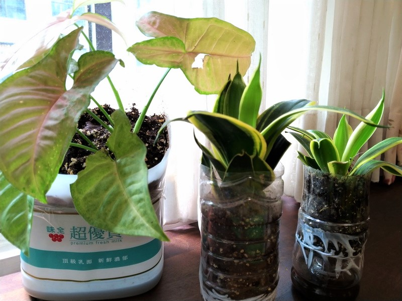 種好空氣清淨植物合果芋、虎尾蘭在環保花盆的盆栽