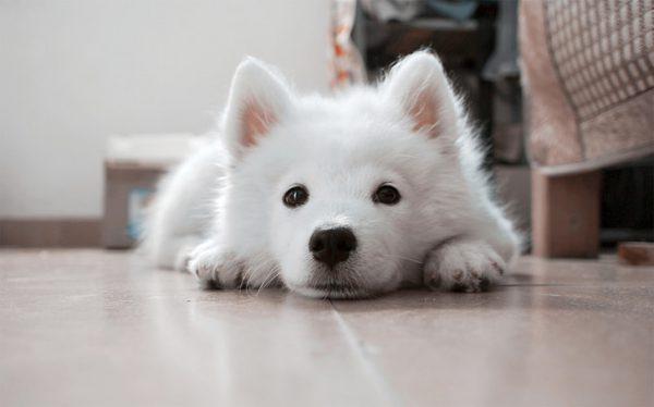 白小狗趴在瓷磚地板上