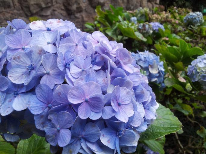 淡藍色繡球花