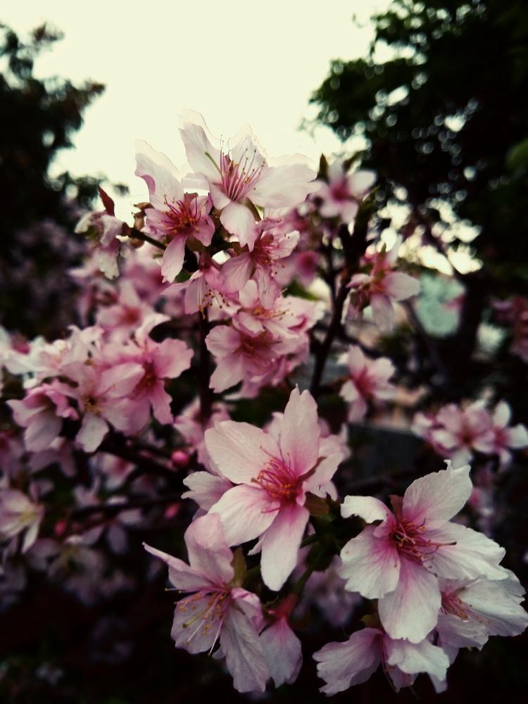 很多盛開的桃花