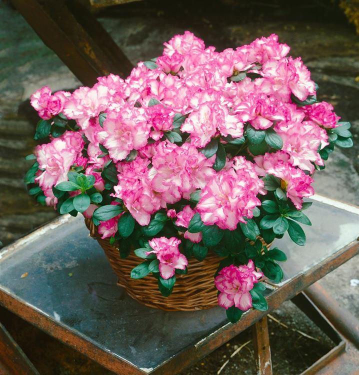 白色有粉色邊緣的杜鵑花盆景