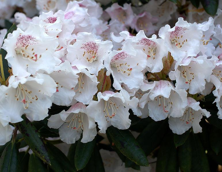 白色杜鵑花