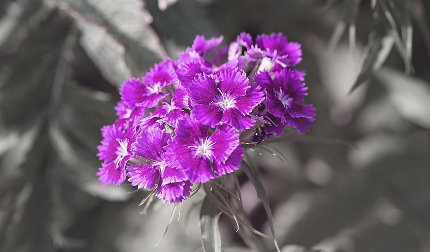 紫色的康乃馨