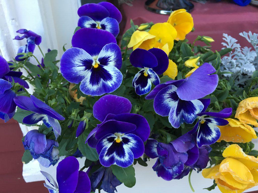 藍色淡紫色三色堇