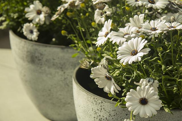 daisy in concrete pot