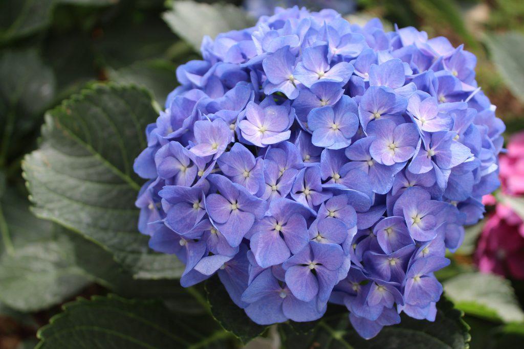 淺藍色鏽球花