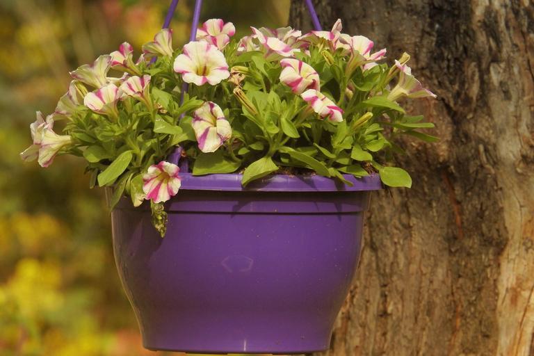 黃色為主點綴粉色的匍匐矮牽牛花種在紫色花盆裡