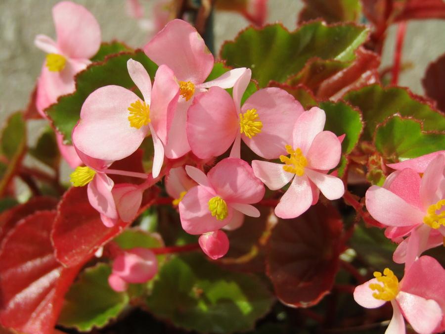 紅裡透白的秋海棠花