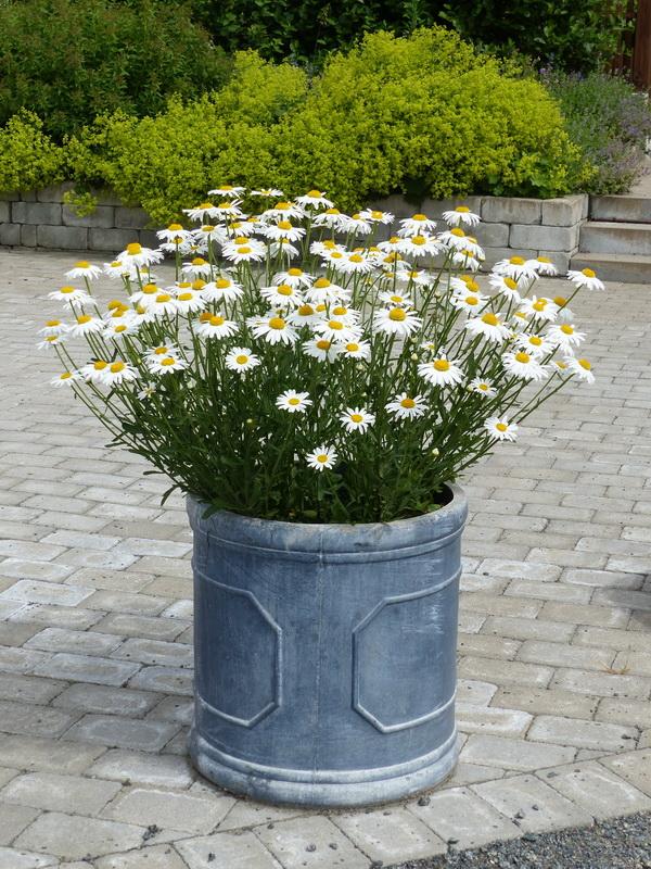 白色的雛菊種在淺藍色陶器花盆裡